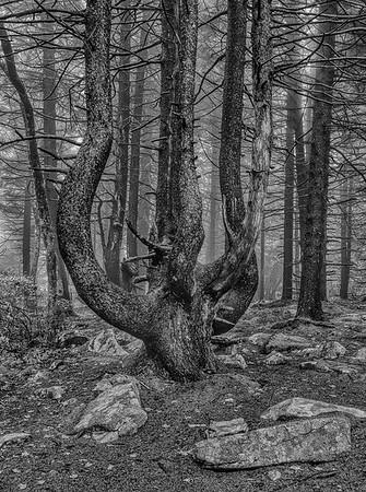 Multi-Trunk Pine Tree
