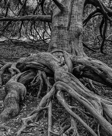 Leaning Cedar Tree With Exposed Roots