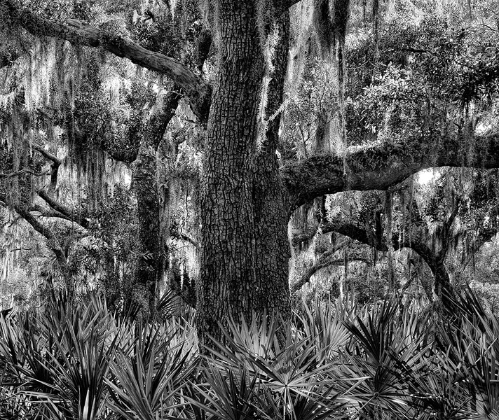 Live Oak and Palmetto Leaves, Jekyll Island