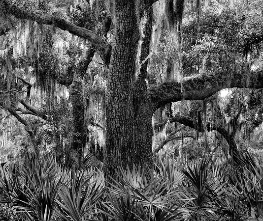Live Oak and Palmetto Leaves