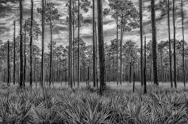 Saw Palmettos Under Long Leaf Pines