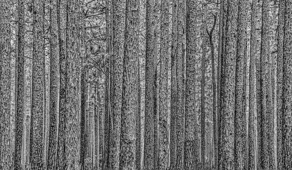Long Leaf Pine Etching