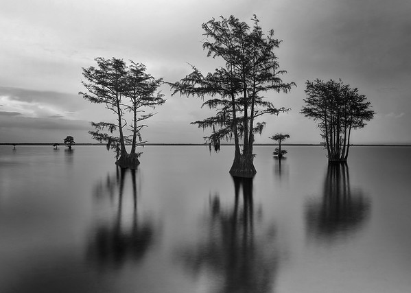 Silhouetted Cypress In Lake Moultrie