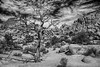Dead Pinyon Pine In Mohave Desert