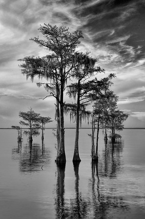 Cypress Trees In Lake Moultrie At Sunset