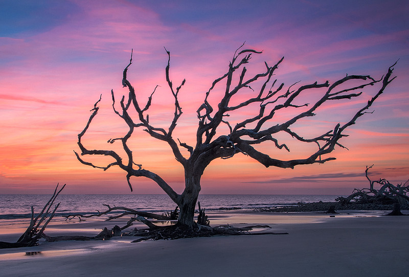 Driftwood Tree At Dawn - Jekyll Island
