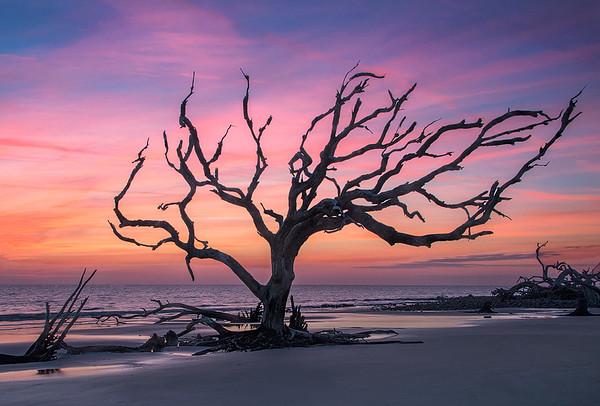 Driftwood Tree At Dawn - Jekyll Island
