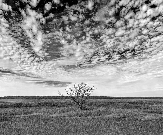 Lone Tree Standing In Marshes At Glynn