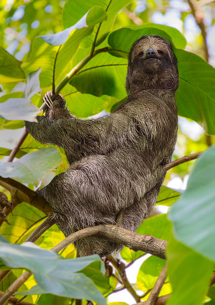 Three-Toed Sloth - Alajuela Province
