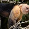 Angry White-Face Capuchin - Caño Negro Wildlife Refuge