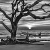 Driftwood Tree With Rising Sun