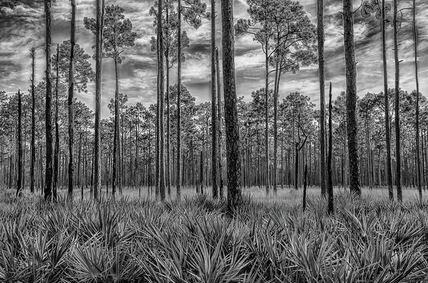 Saw Palmettos Under Long Leaf Pines