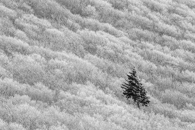 Frosted Trees On Craggy Dome