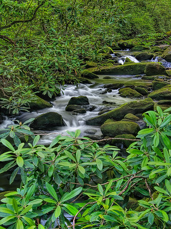 Rhododendron Above Little Santeelah Creek