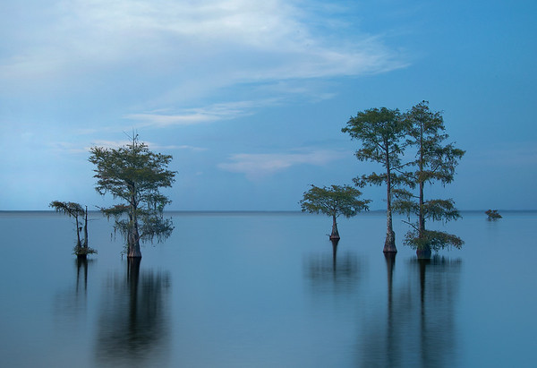 Bald Cypress In Lake Moultrie At Dusk