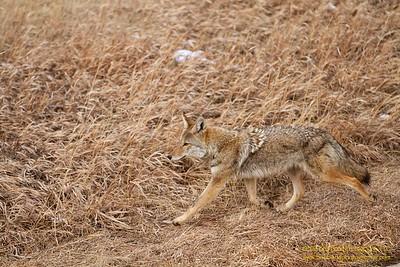 Golden Coyote II