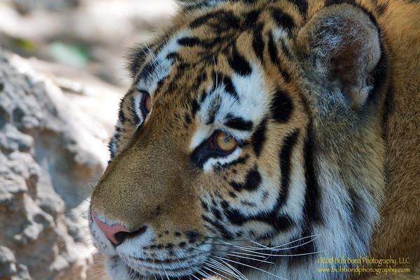 Elegant-Tiger