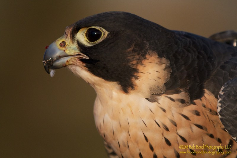 Peregrine Falcon Sunset