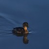 Pied-billed Grebe II