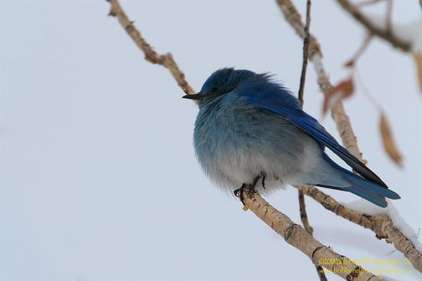 Puff Birdy