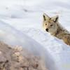 Antelope Island Coyote II