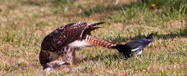 redtail-and-magpie
