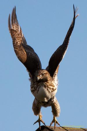 Redtail-Takes-Flight