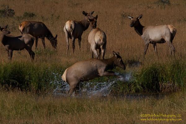 Elk-Calf-Playing