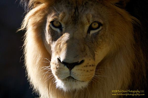 Majestic-Lion-2