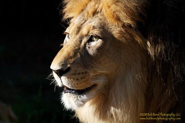 Majestic-Lion