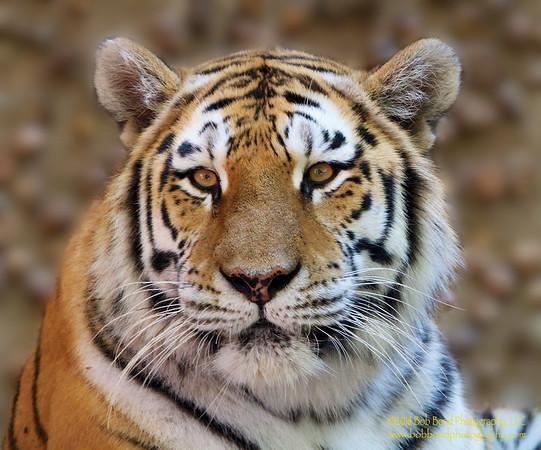 Fuzzy-Tiger