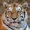 Fuzzy Tiger