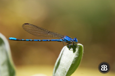 Blue Damselfly 2