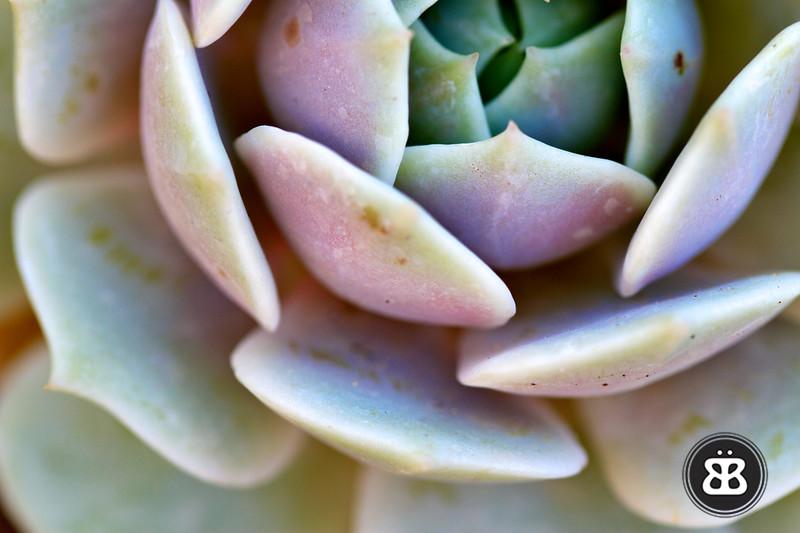 Color Succulent