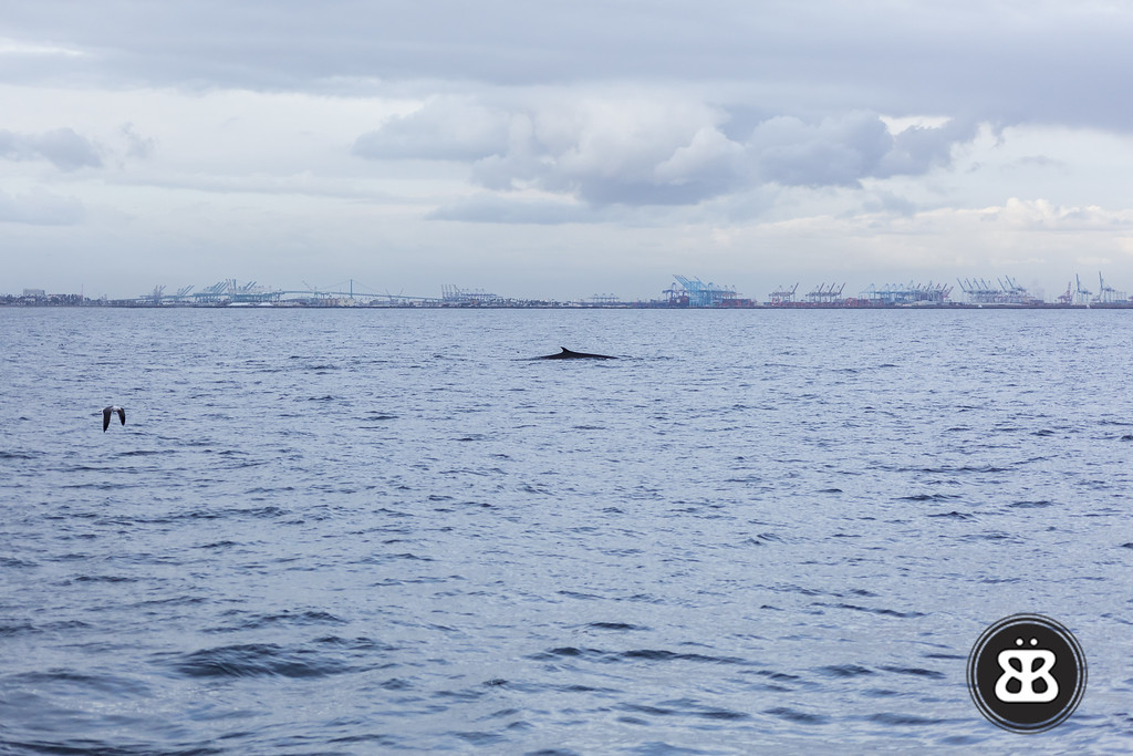 Harbor Whale