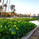 Lotus Field # 3 Echo Park Lake, Los Angeles