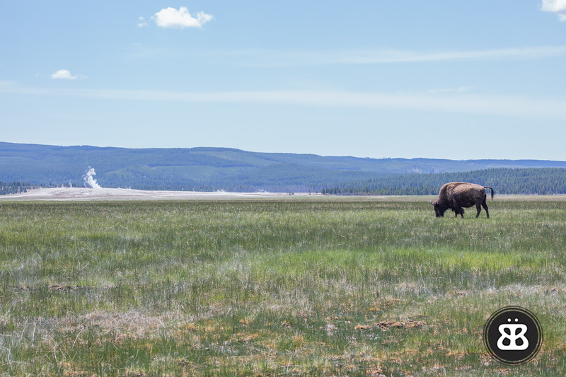 A bison grazes in Yellowstone National Park, with geysers erupting in the background.