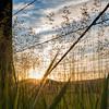 A sunburst through the grasses of a Montana Farm.