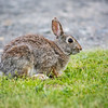 A wild rabbit.