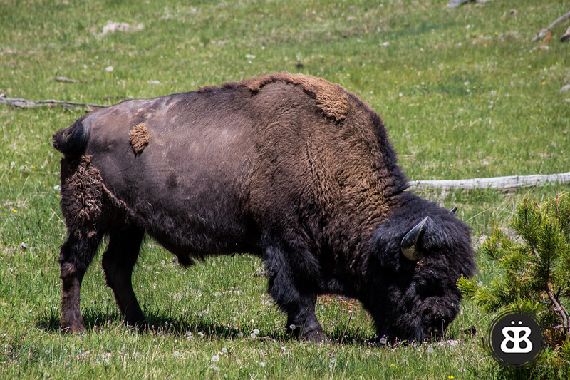 A bison grazes on the side of the road in Yellowstone National Park.  It is spring, and he is losing his winter coat.