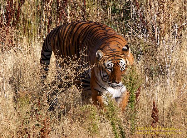 Stalking-Tiger