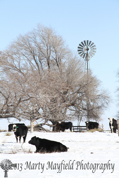 Windmill and Cows_7319