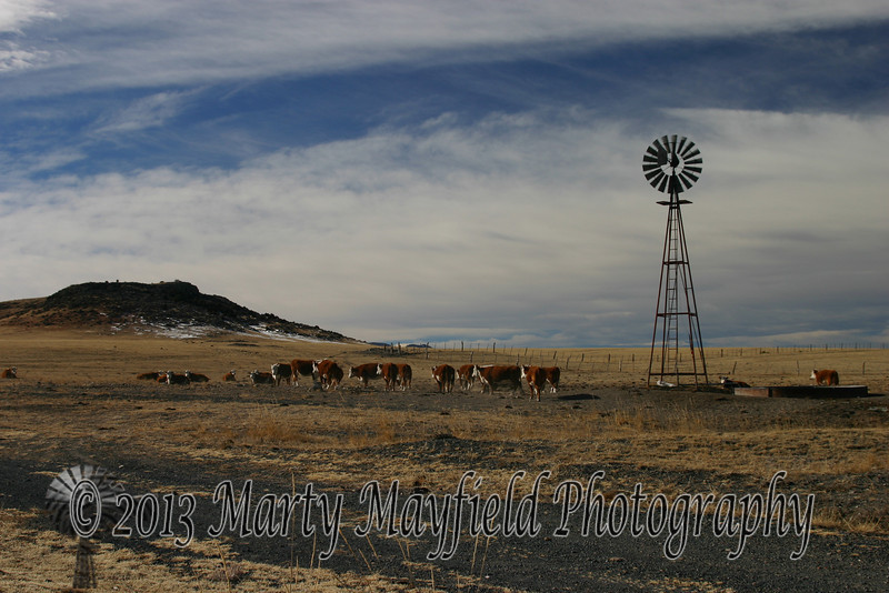 Windmill and cows King ranch 0363