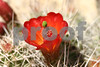 Cactus Flower IMG_2611