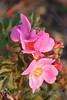 Wild Rose_003