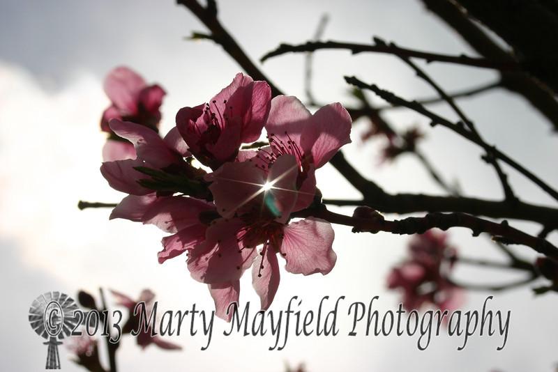 Plum blossom IMG_1714