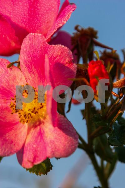 Wild Rose_038