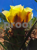 Prickly Pear_0306
