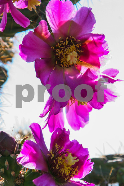 Tree Cactus Flowers_017