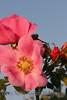 Wild Rose_037